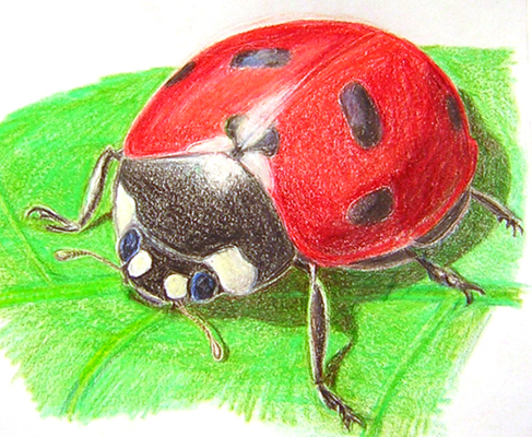 Seven-spotted Lady Beetle in Prismacolor pencil