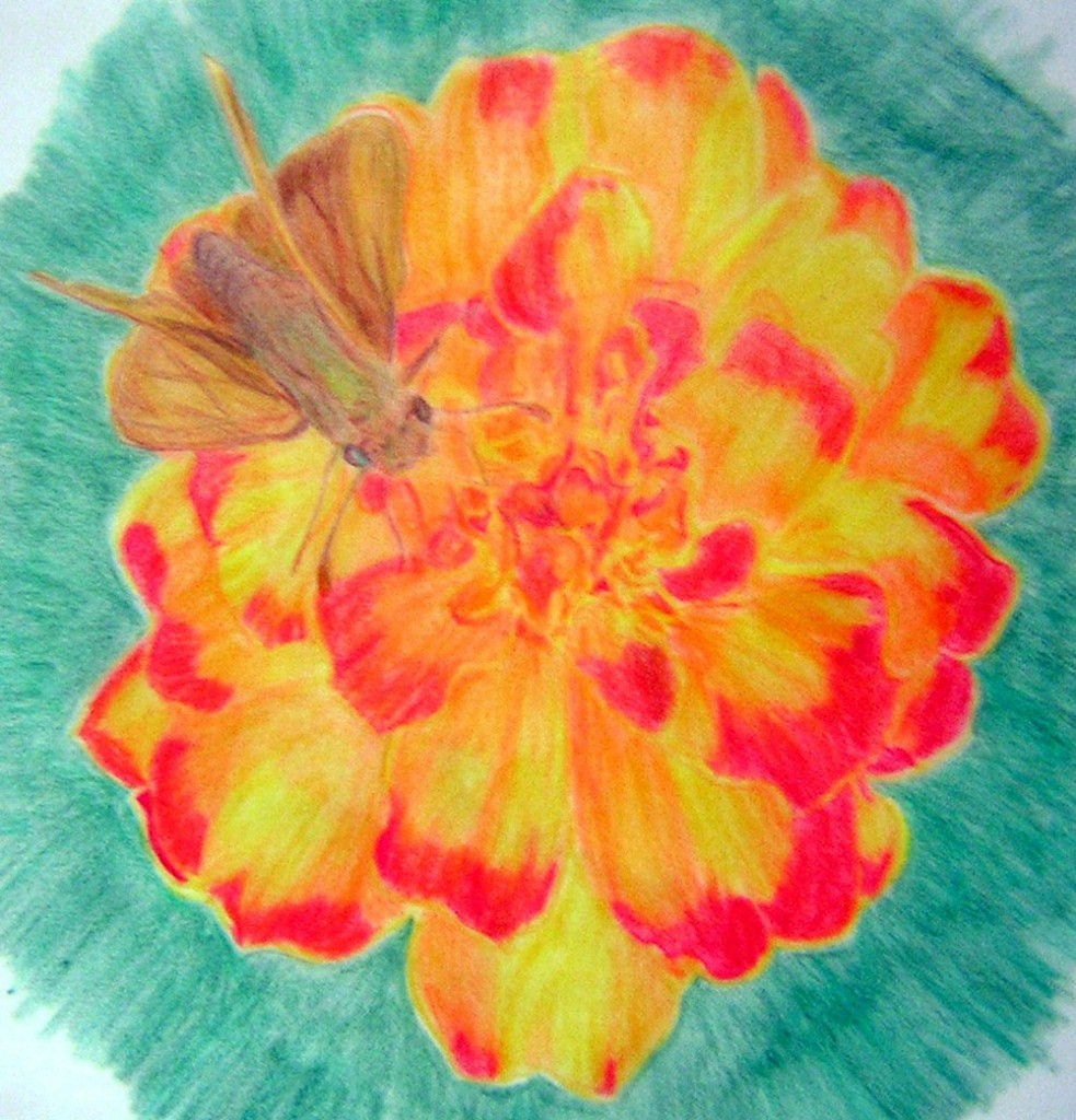 Sachem Skipper on marigold in Prismacolor pencil
