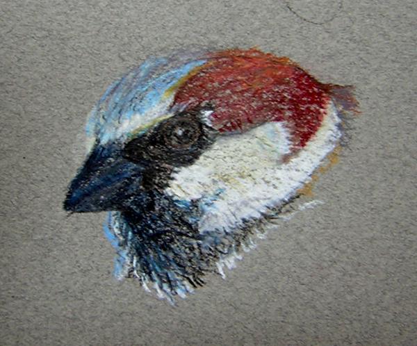 House Sparrow study in Prismacolor pencil