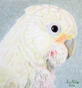 """Callie (Goffin's Cockatoo, Cacatua goffiniana,"" (c) 2012 Abigail M. Parker"