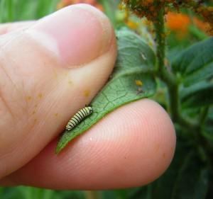 Tiny monarch on milkweed