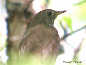 Bicknell's Thrush (c) A. Clavette