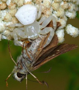White crab spider with moth on white flower