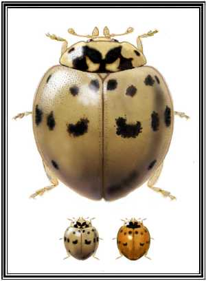 Gray form of Ashy-gray Lady Beetle (c) coccinellidae.cl