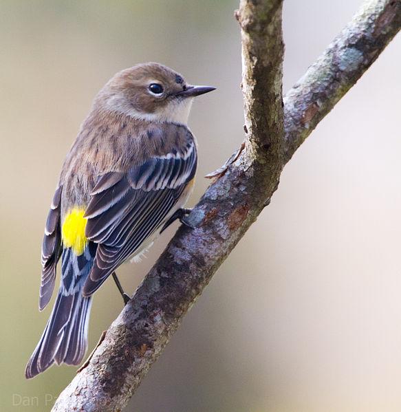 Yellow-rumped Warbler (c) 2010 Dan Pacamo