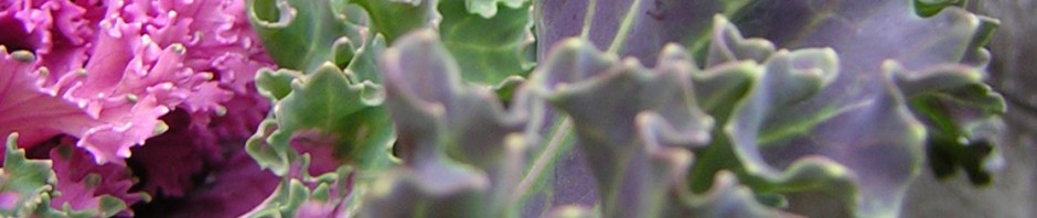 Purple Ruffles (Ornamantal kale)