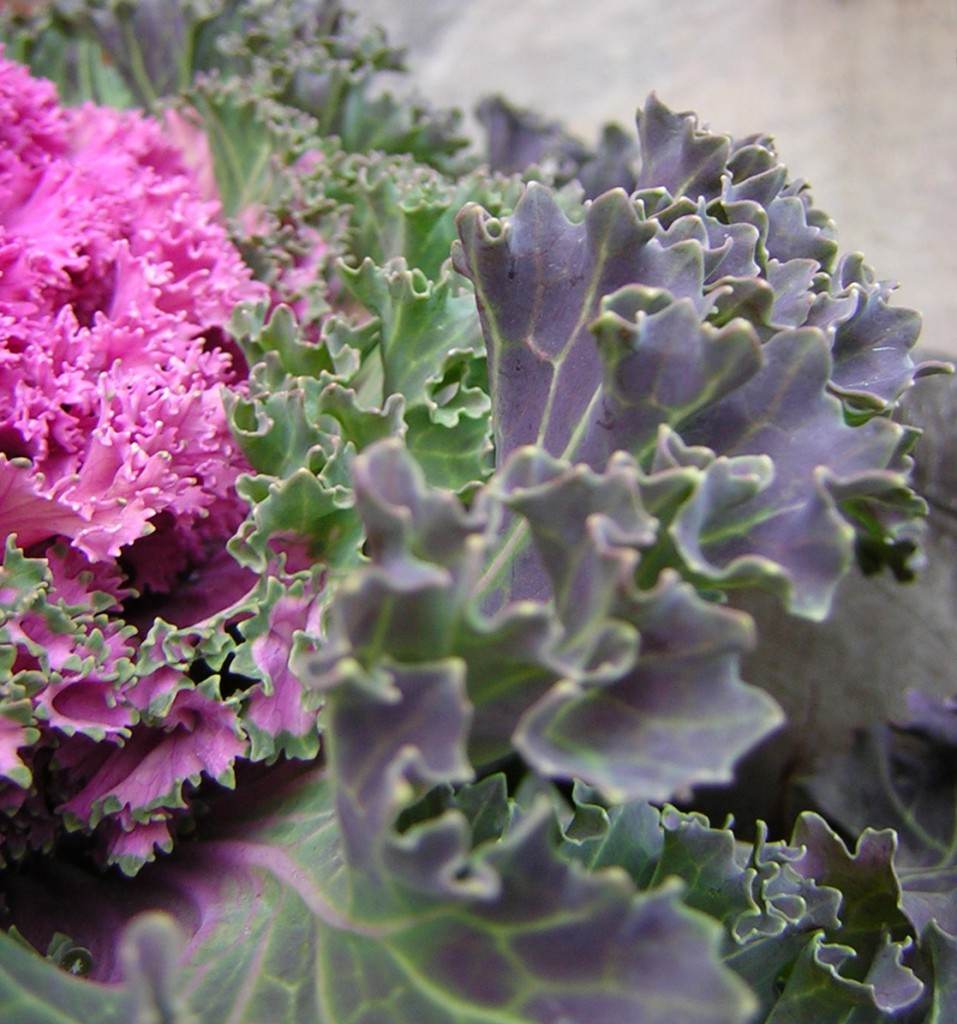 Purple Ruffles (Ornamantal kale)