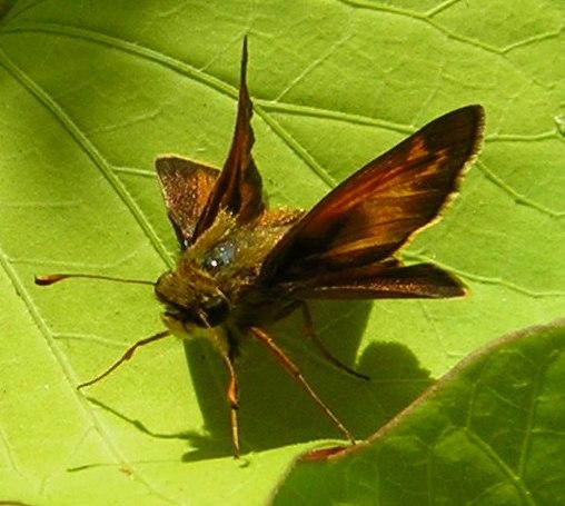 Sachem Skipper butterfly on sweet potato vine leaf