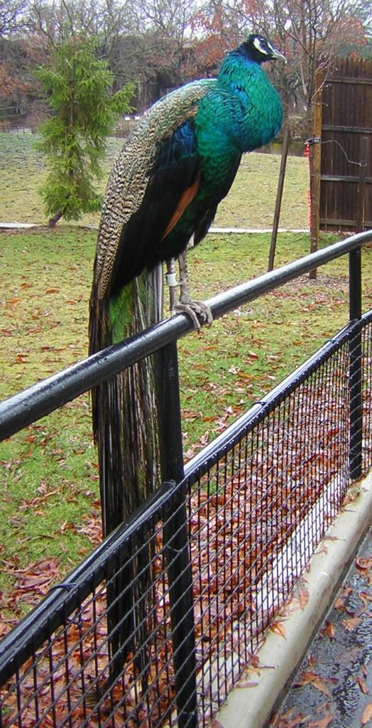 Wet Peacock
