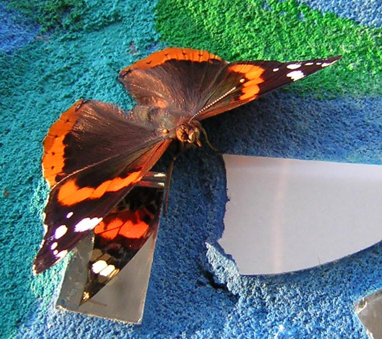 Red Admiral butterfly on mosaic wall